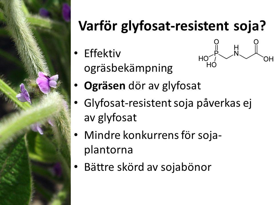 Varför glyfosat-resistent soja? Effektiv ogräsbekämpning Ogräsen dör av glyfosat Glyfosat-resistent soja påverkas ej av glyfosat Mindre konkurrens för