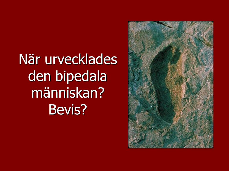 När urvecklades den bipedala människan? Bevis?