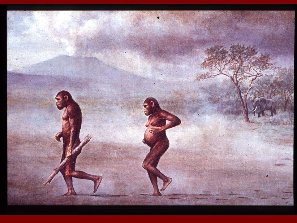 Figure 34.41 Homo sapiens Homo neanderthalensis Homo ergaster .