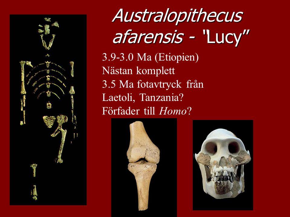 """Australopithecus afarensis - """"Lucy"""" 3.9-3.0 Ma (Etiopien) Nästan komplett 3.5 Ma fotavtryck från Laetoli, Tanzania? Förfader till Homo?"""