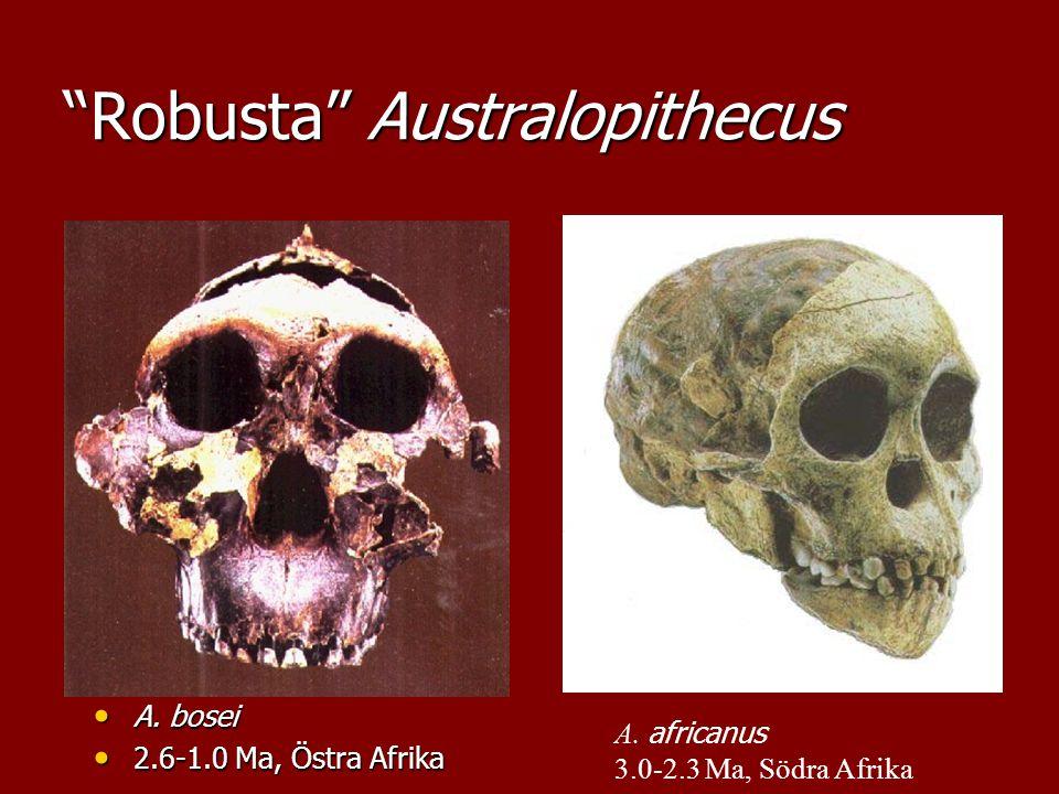 """Robusta"" Australopithecus A. bosei A. bosei 2.6-1.0 Ma, Östra Afrika 2.6-1.0 Ma, Östra Afrika A. africanus 3.0-2.3 Ma, Södra Afrika"