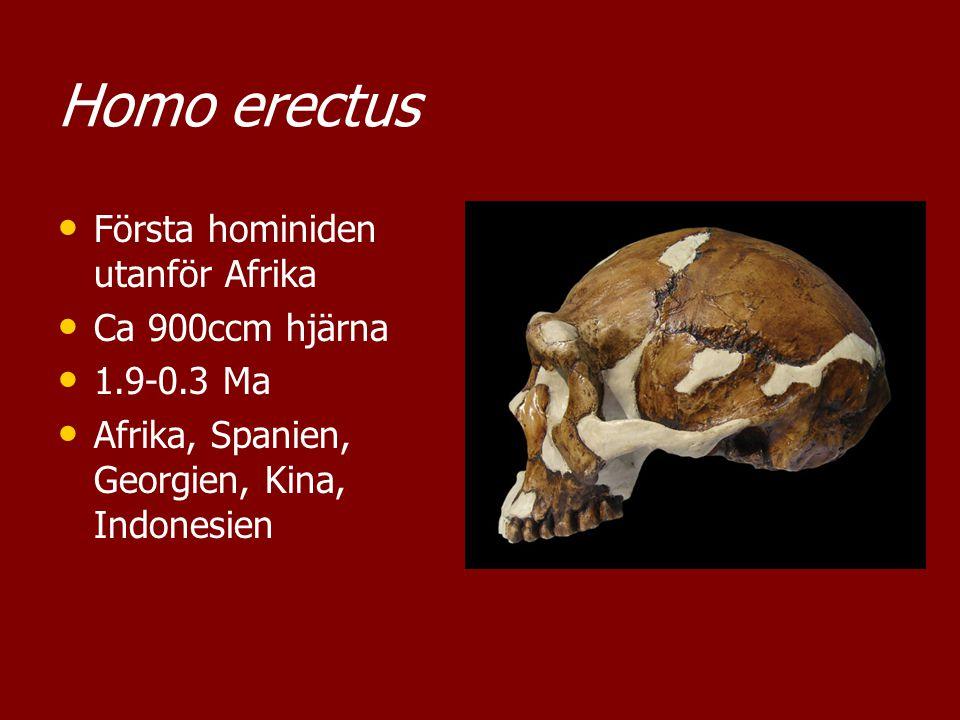 Homo erectus Första hominiden utanför Afrika Ca 900ccm hjärna 1.9-0.3 Ma Afrika, Spanien, Georgien, Kina, Indonesien