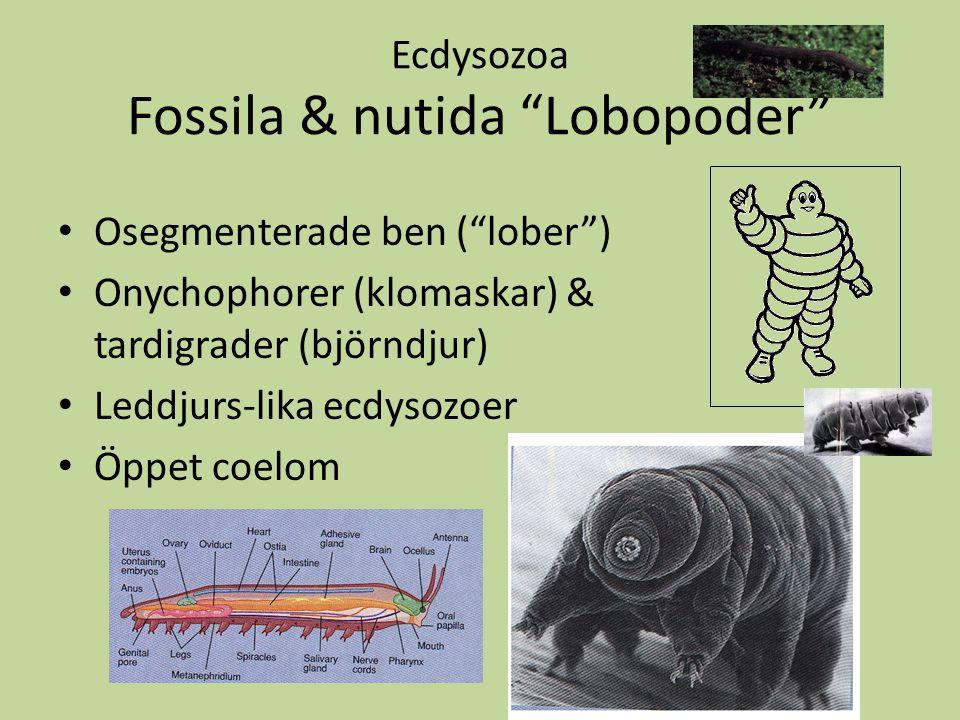 """Ecdysozoa Fossila & nutida """"Lobopoder"""" Osegmenterade ben (""""lober"""") Onychophorer (klomaskar) & tardigrader (björndjur) Leddjurs-lika ecdysozoer Öppet c"""