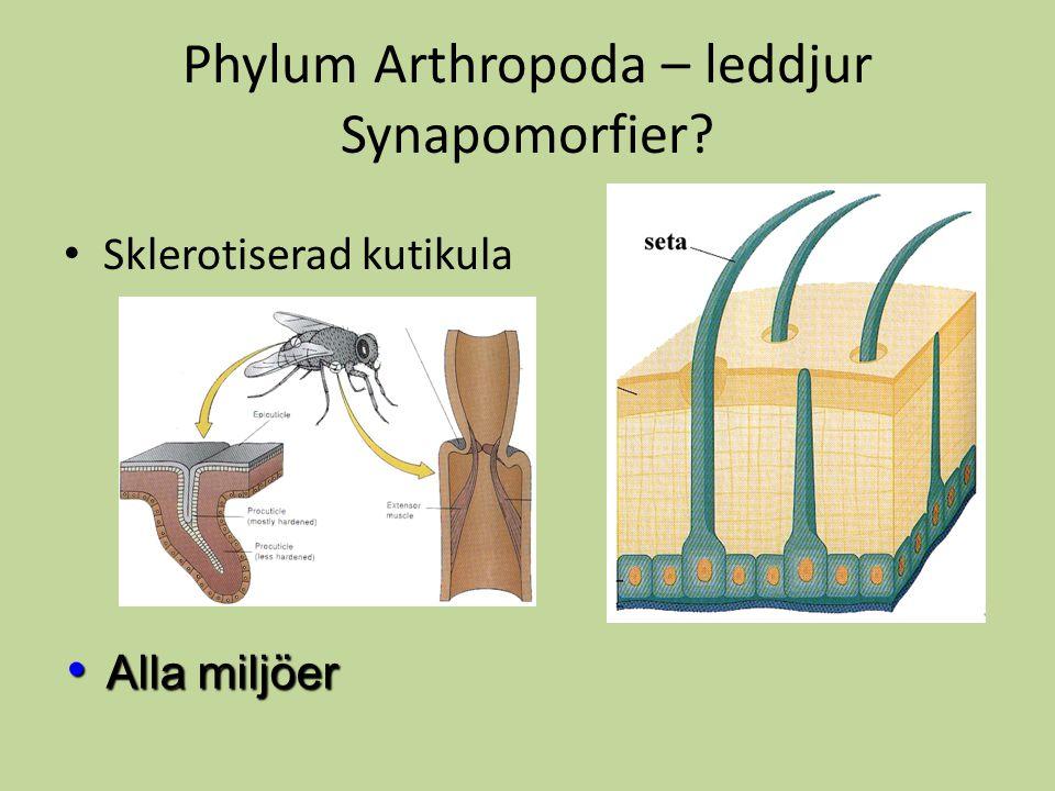 Phylum Arthropoda – leddjur Synapomorfier? Sklerotiserad kutikula Alla miljöer Alla miljöer