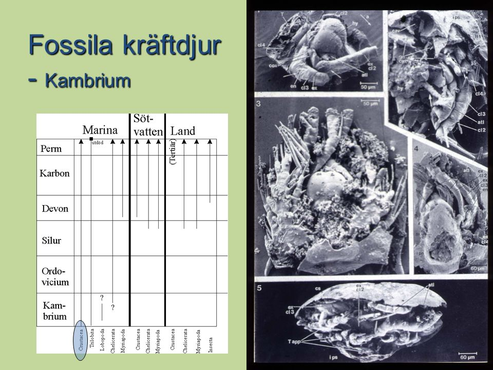 Fossila kräftdjur - Kambrium