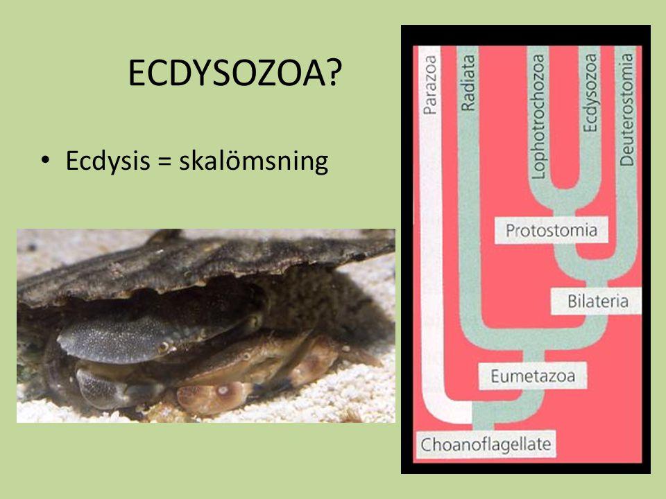 Fylogenetiska modeller Monofyletisk Uniramia först – insekter & myriapoder separat grupp Biramia först – insekter & myriapoder tillsammans med biramia