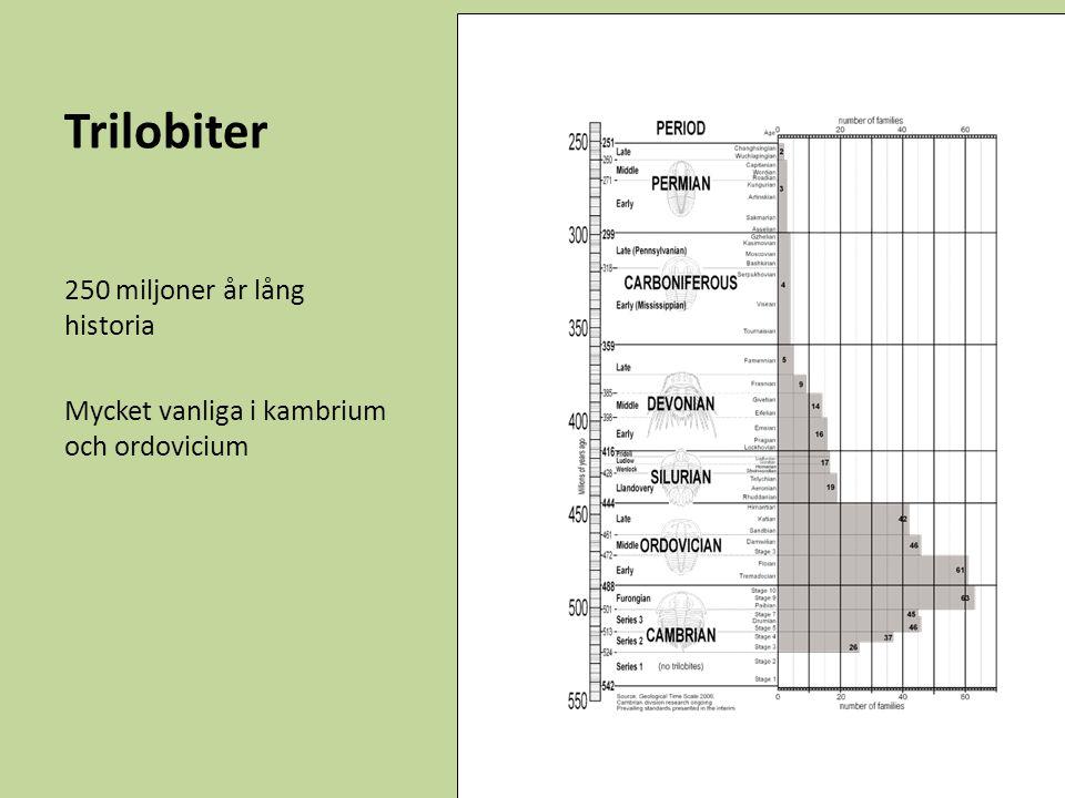 Trilobiter 250 miljoner år lång historia Mycket vanliga i kambrium och ordovicium