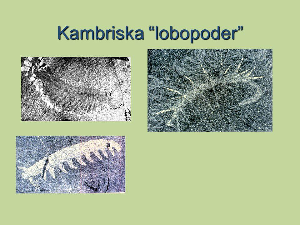 """Kambriska """"lobopoder"""""""