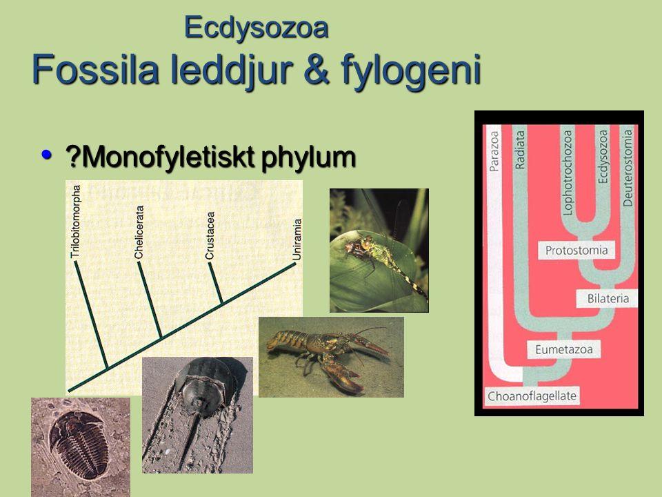 Kambriska klomaskar Uppvisar mycket stor diversitet Var vanliga i grunda havsmiljöer