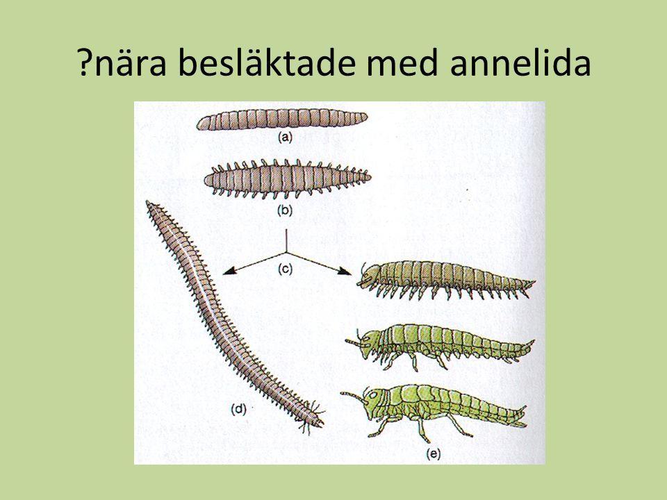 Coelom & segmentering tämligen lika Men leddjurens coelom är öppet Men leddjurens coelom är öppet