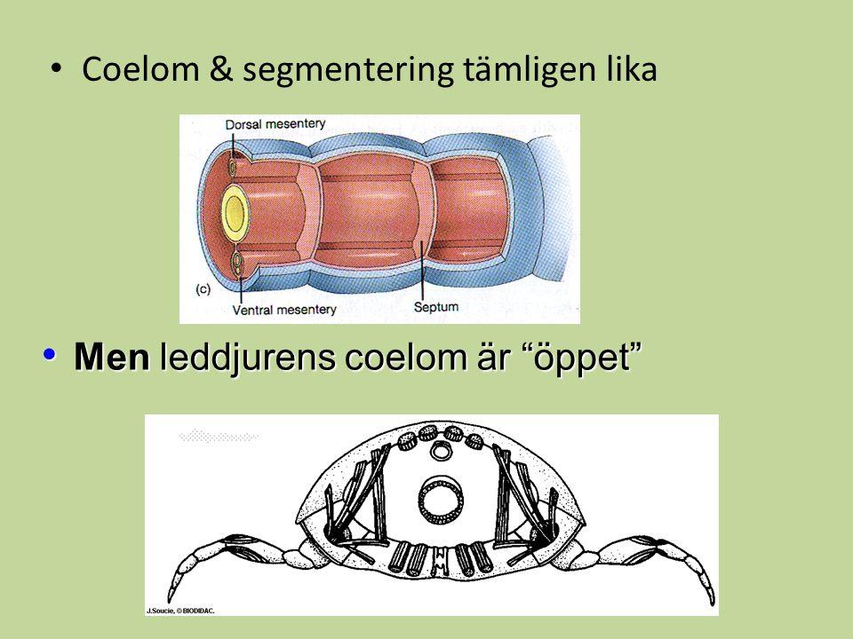 """Coelom & segmentering tämligen lika Men leddjurens coelom är """"öppet"""" Men leddjurens coelom är """"öppet"""""""