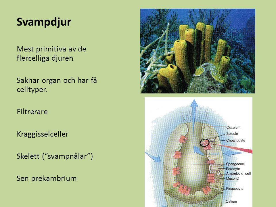 Svampdjur Mest primitiva av de flercelliga djuren Saknar organ och har få celltyper.