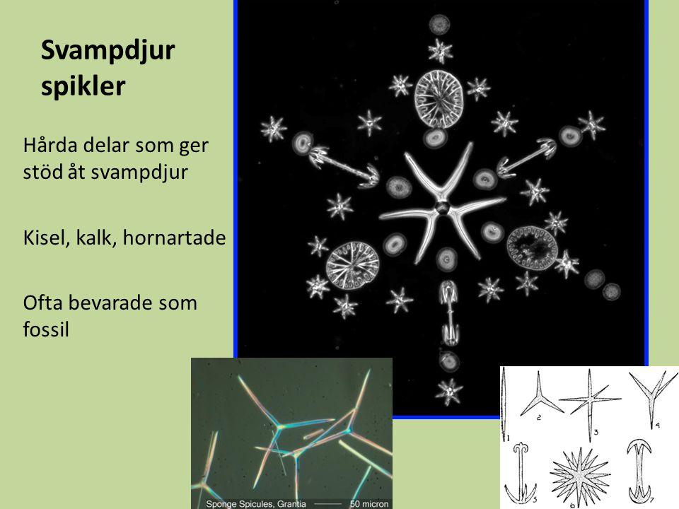 Svampdjur spikler Hårda delar som ger stöd åt svampdjur Kisel, kalk, hornartade Ofta bevarade som fossil