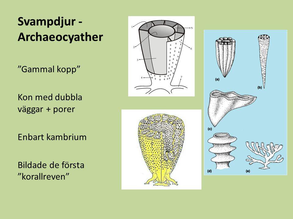 Svampdjur - Archaeocyather Gammal kopp Kon med dubbla väggar + porer Enbart kambrium Bildade de första korallreven