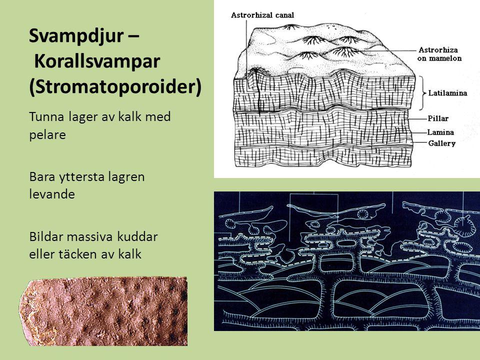 Svampdjur – Korallsvampar (Stromatoporoider) Tunna lager av kalk med pelare Bara yttersta lagren levande Bildar massiva kuddar eller täcken av kalk