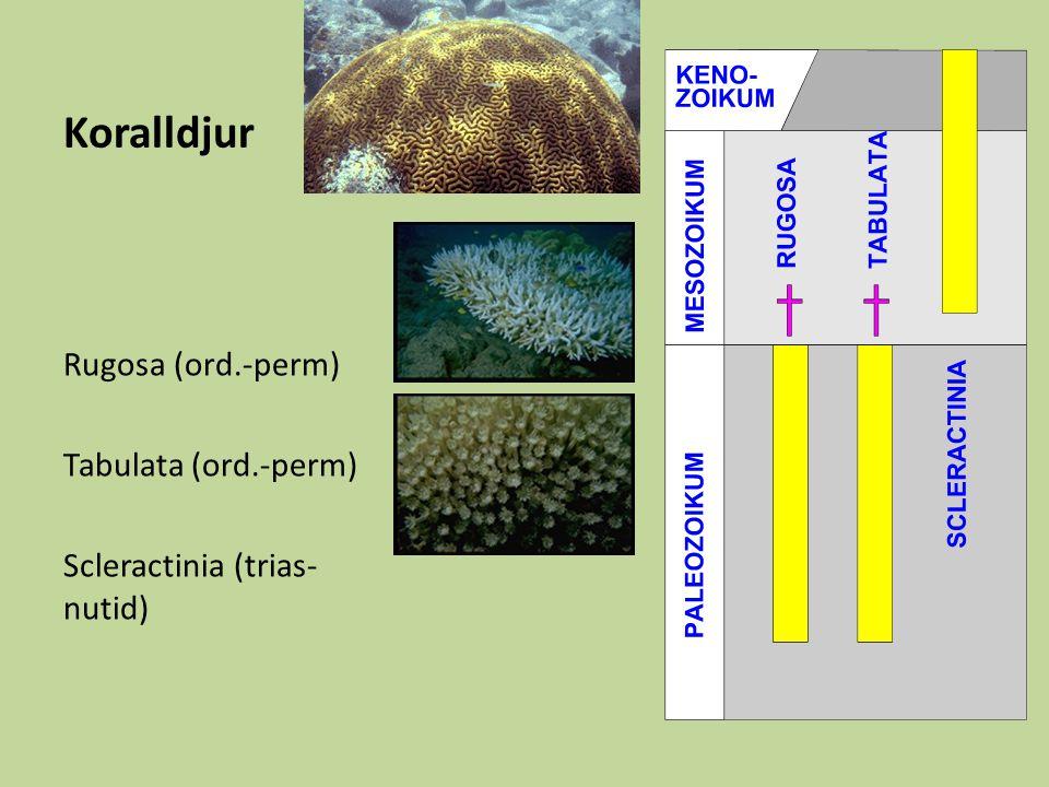 Koralldjur Rugosa (ord.-perm) Tabulata (ord.-perm) Scleractinia (trias- nutid)