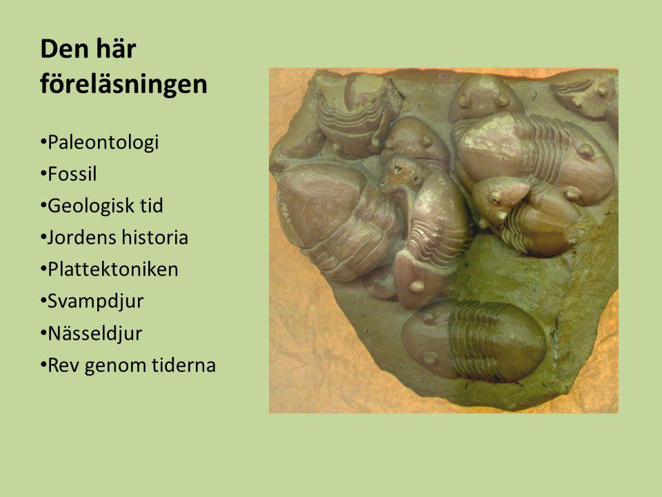 Paleontologi Läran om det gamla livet Utdöda arter många gånger fler än de nu levande Fossil: Lämningar och spår av länge sedan döda organismer Fossil finner man i sedimentära bergarter.