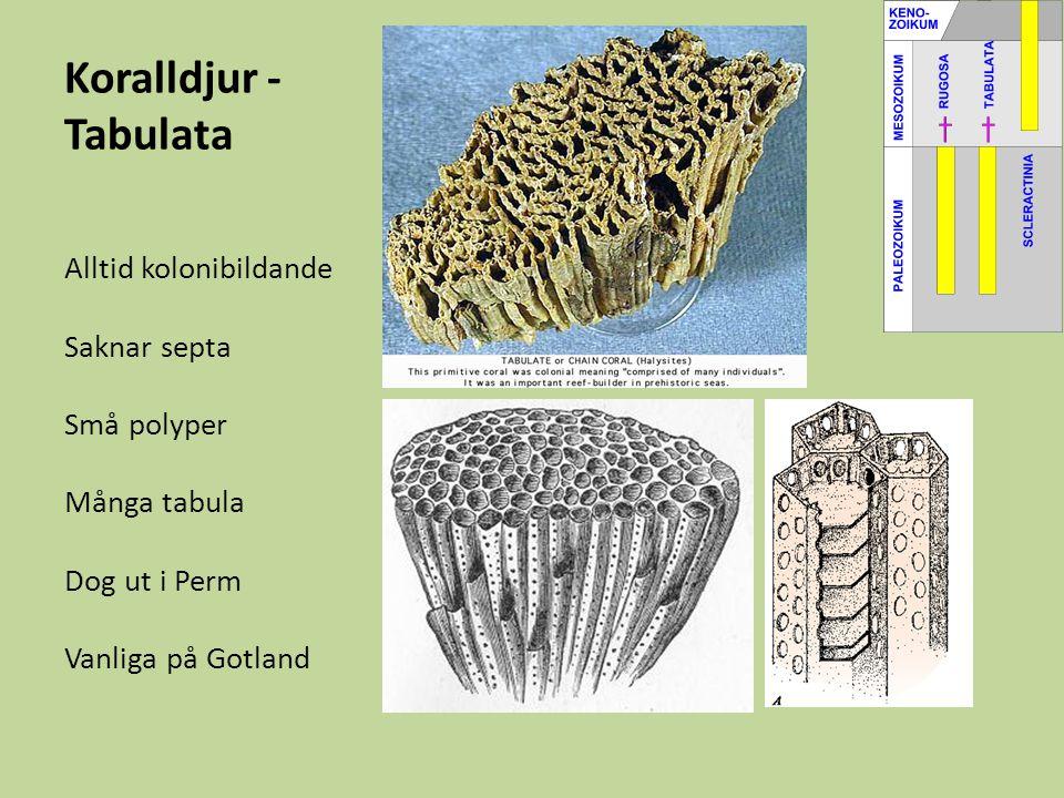 Koralldjur - Tabulata Alltid kolonibildande Saknar septa Små polyper Många tabula Dog ut i Perm Vanliga på Gotland
