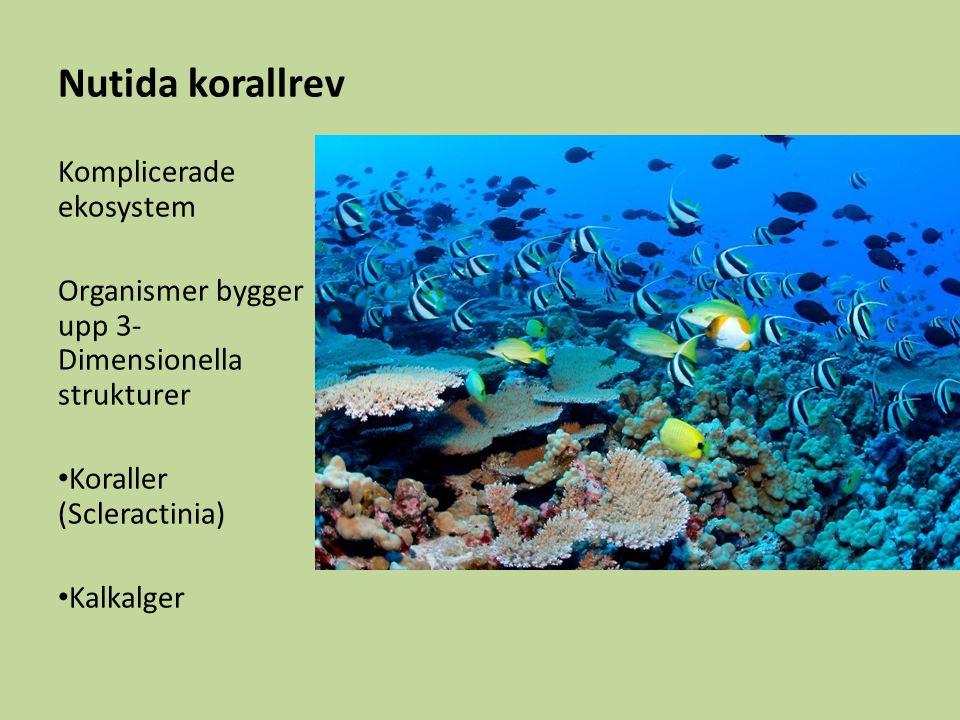 Nutida korallrev Komplicerade ekosystem Organismer bygger upp 3- Dimensionella strukturer Koraller (Scleractinia) Kalkalger