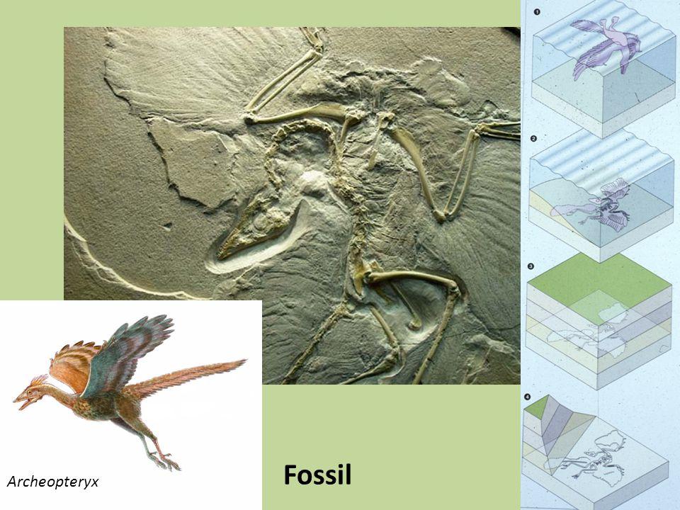Mesozoiska rev Påminner om moderna rev Koraller (scleractinia) i trias och jura Rudister (ett slags musslor) i krita