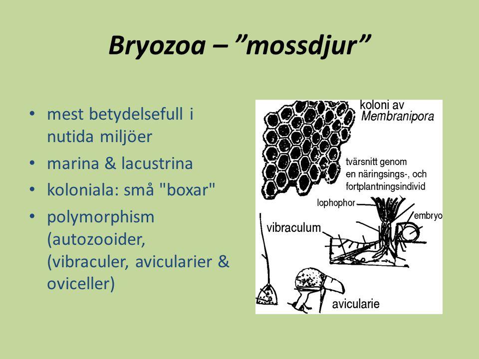 """Bryozoa – """"mossdjur"""" mest betydelsefull i nutida miljöer marina & lacustrina koloniala: små"""