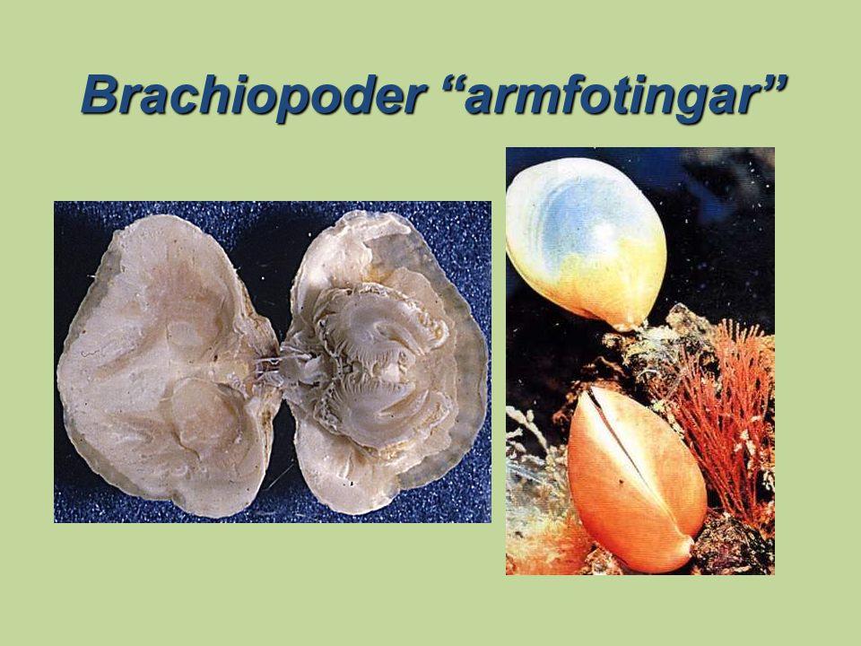 """Brachiopoder """"armfotingar"""""""