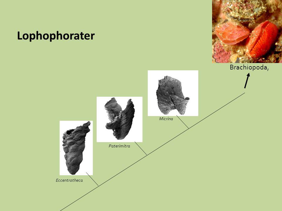 Paterimitra Eccentrotheca Brachiopoda, Micrina