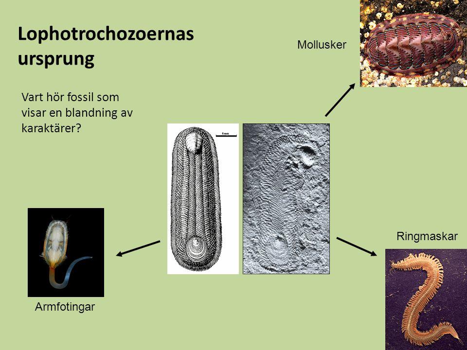 Vart hör fossil som visar en blandning av karaktärer? Lophotrochozoernas ursprung Armfotingar Mollusker Ringmaskar