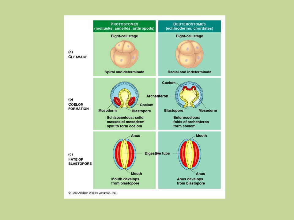 Lophophorater Molekylära data visar entydigt: Lophophorater är Protostomer