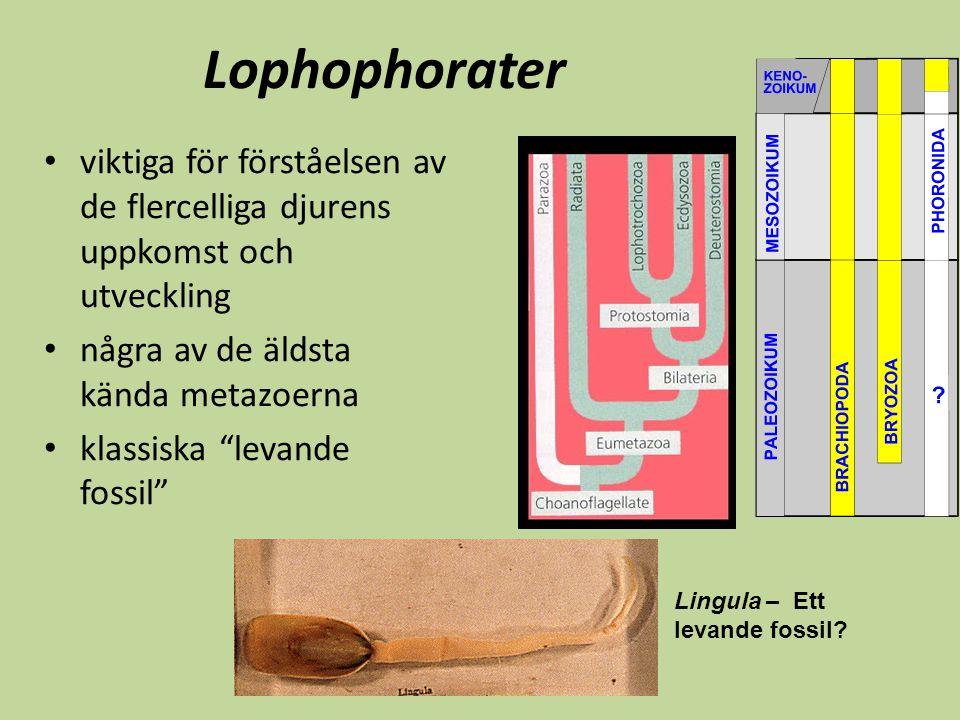 """Lophophorater viktiga för förståelsen av de flercelliga djurens uppkomst och utveckling några av de äldsta kända metazoerna klassiska """"levande fossil"""""""