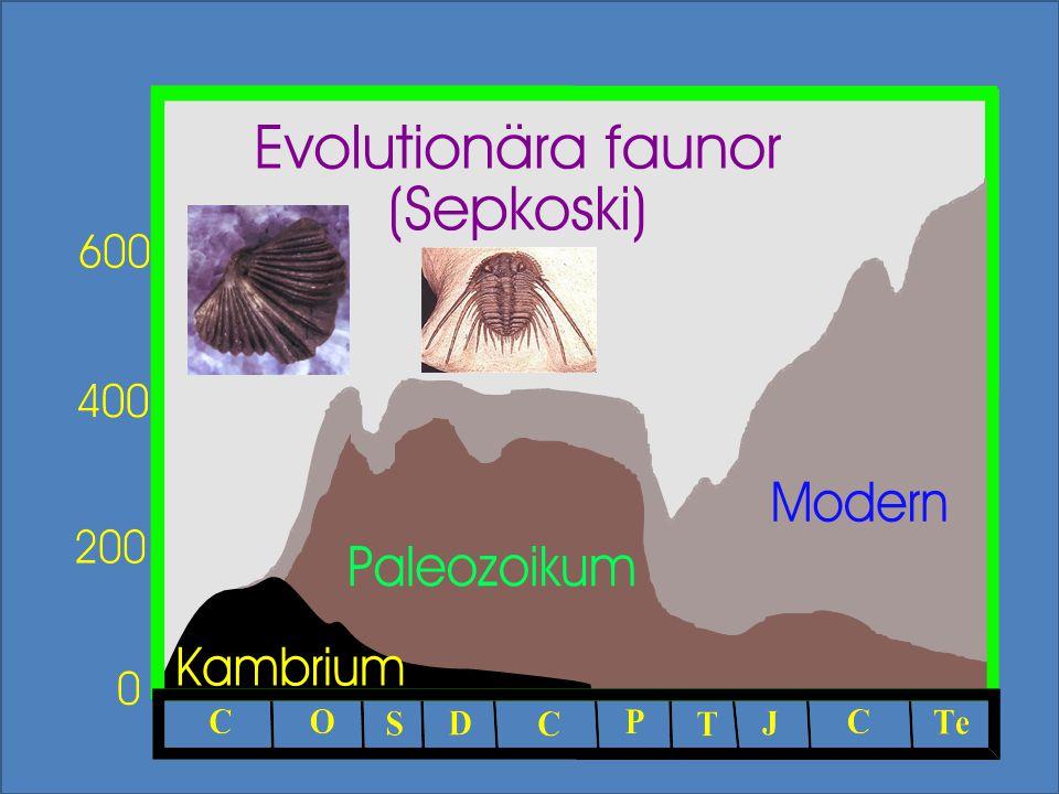 Olika tommotiider visar evolutionära mellanstadier Succesivt kortare tub Allt färre skleriter Slutligen: Bara två kvar = armfoting Lophophorater