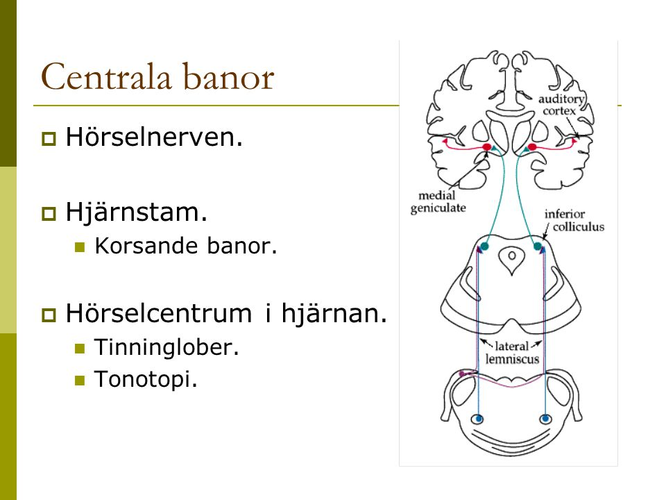 Centrala banor  Hörselnerven.  Hjärnstam. Korsande banor.  Hörselcentrum i hjärnan. Tinninglober. Tonotopi.