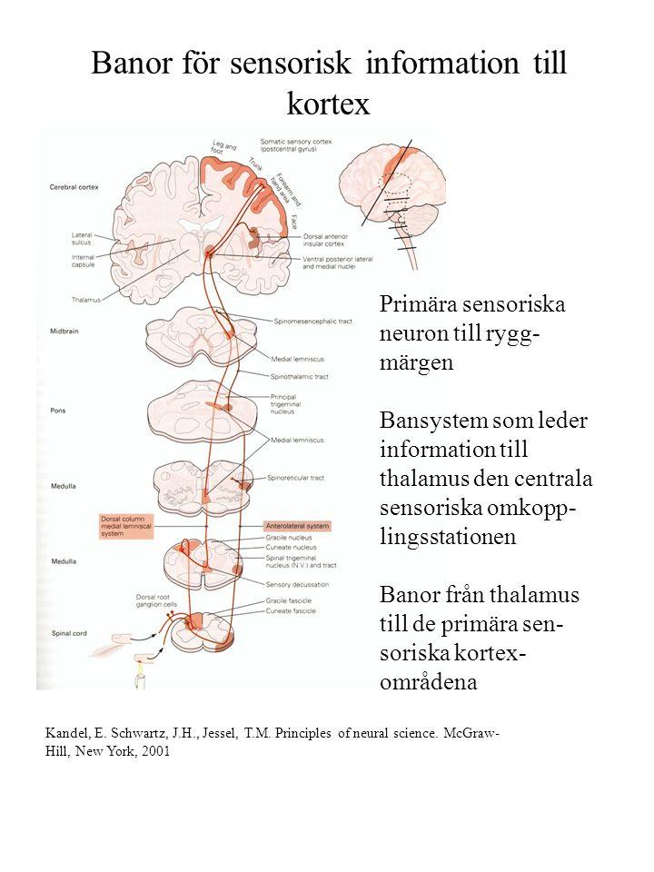 Banor för sensorisk information till kortex Primära sensoriska neuron till rygg- märgen Bansystem som leder information till thalamus den centrala sen