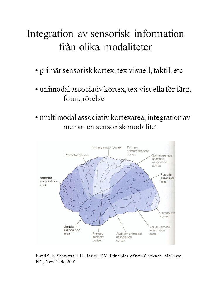 Integration av sensorisk information från olika modaliteter primär sensorisk kortex, tex visuell, taktil, etc unimodal associativ kortex, tex visuella