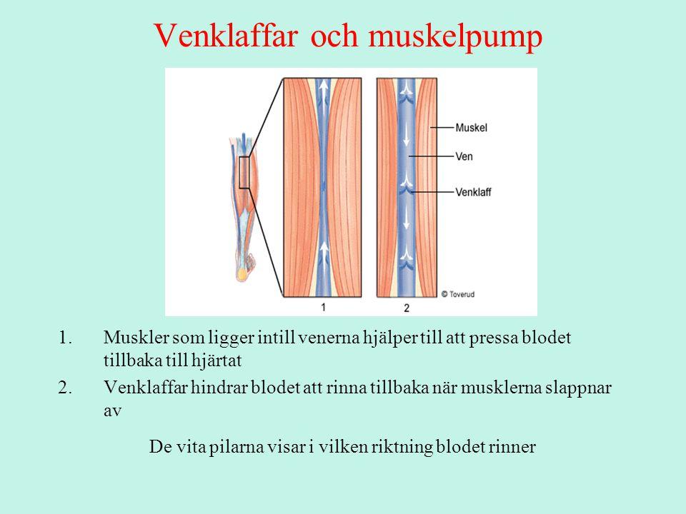 Venklaffar och muskelpump 1.Muskler som ligger intill venerna hjälper till att pressa blodet tillbaka till hjärtat 2.Venklaffar hindrar blodet att rinna tillbaka när musklerna slappnar av De vita pilarna visar i vilken riktning blodet rinner
