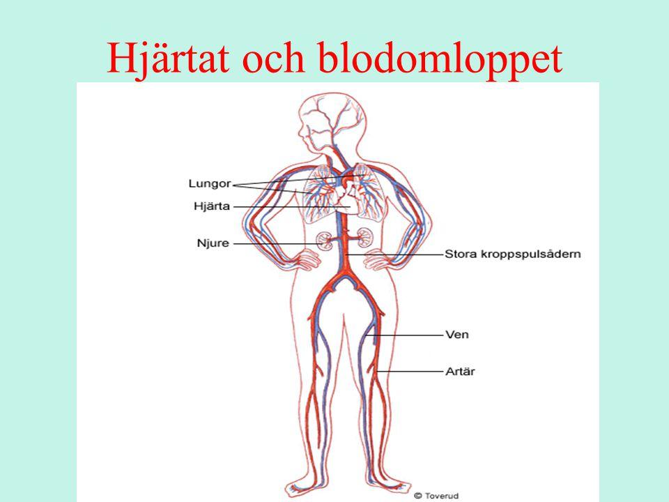 Hjärtats uppbyggnad och funktion Hjärtat är en muskel Lika stort som en knytnäve Fungerar som en pump Pumpkraftens tryck=blodtrycket Hjärtat skyddas av bröstkorgens vägg som är uppbyggd av revben och muskler Under fosterstadiet börjar hjärtat slå redan när fostret är tre veckor gammalt.