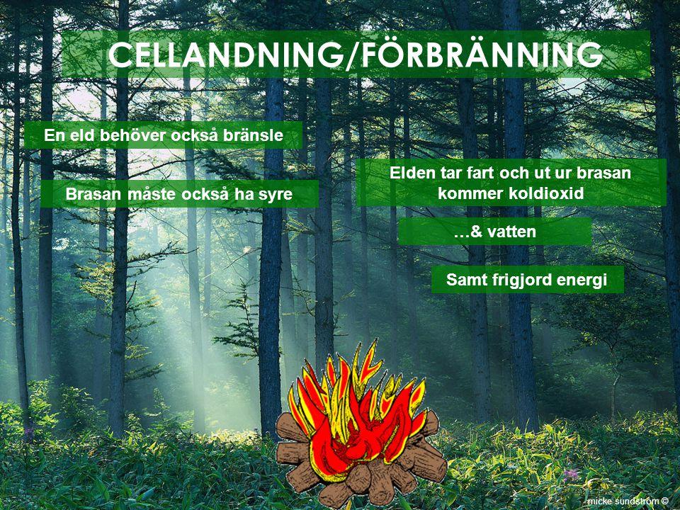 CELLANDNING/FÖRBRÄNNING En eld behöver också bränsle Brasan måste också ha syre Elden tar fart och ut ur brasan kommer koldioxid …& vatten Samt frigjo