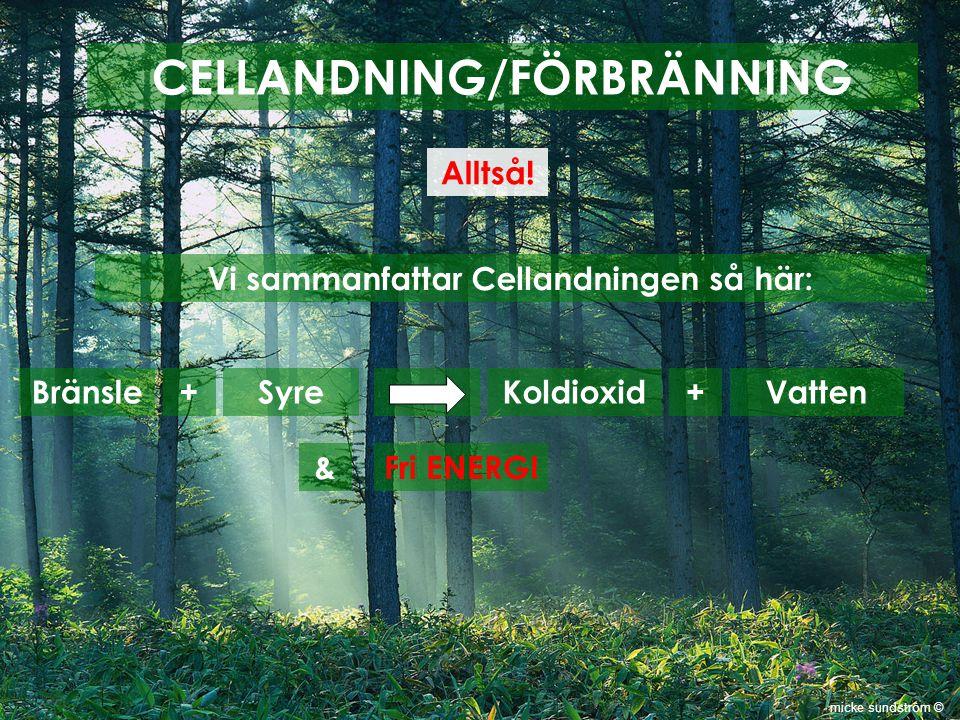 CELLANDNING/FÖRBRÄNNING Alltså! Vi sammanfattar Cellandningen så här: Bränsle + SyreKoldioxid + Vatten &Fri ENERGI micke sundström ©