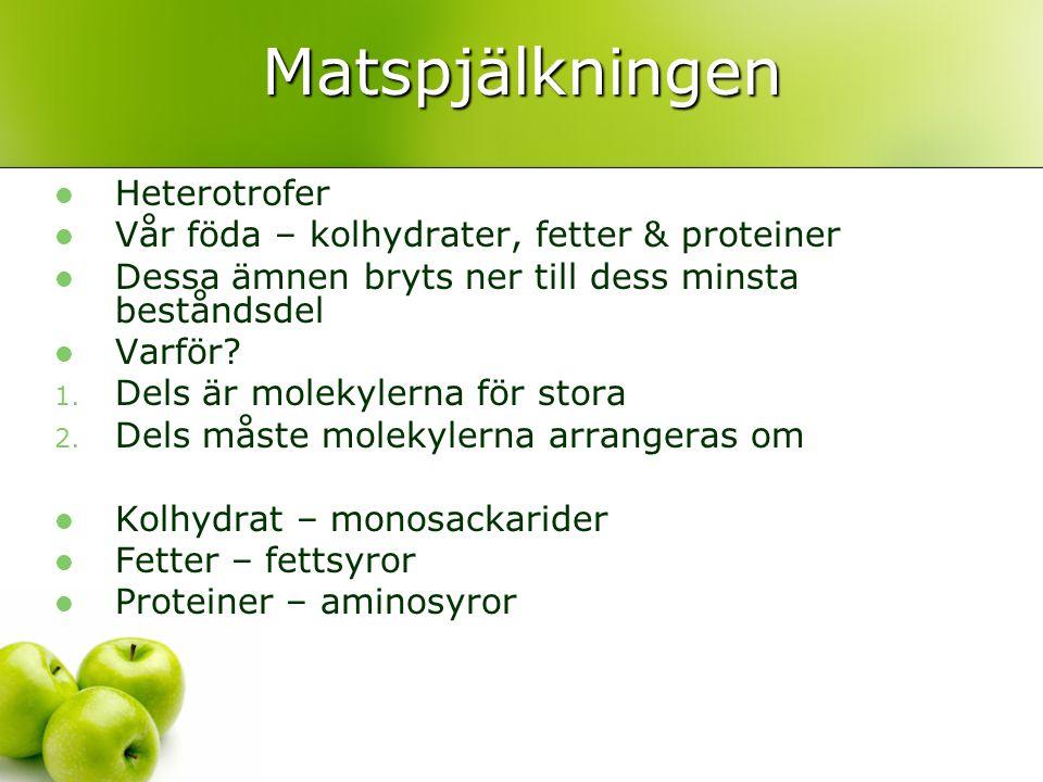 Matspjälkningen Heterotrofer Vår föda – kolhydrater, fetter & proteiner Dessa ämnen bryts ner till dess minsta beståndsdel Varför? 1. Dels är molekyle