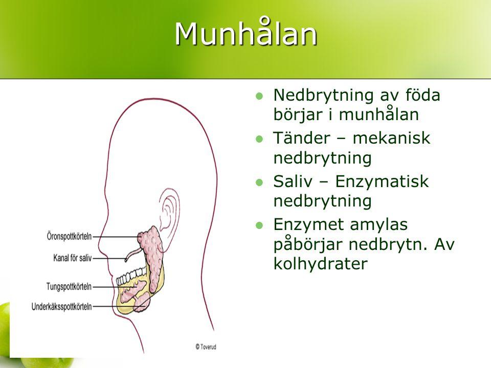 Munhålan Nedbrytning av föda börjar i munhålan Tänder – mekanisk nedbrytning Saliv – Enzymatisk nedbrytning Enzymet amylas påbörjar nedbrytn. Av kolhy