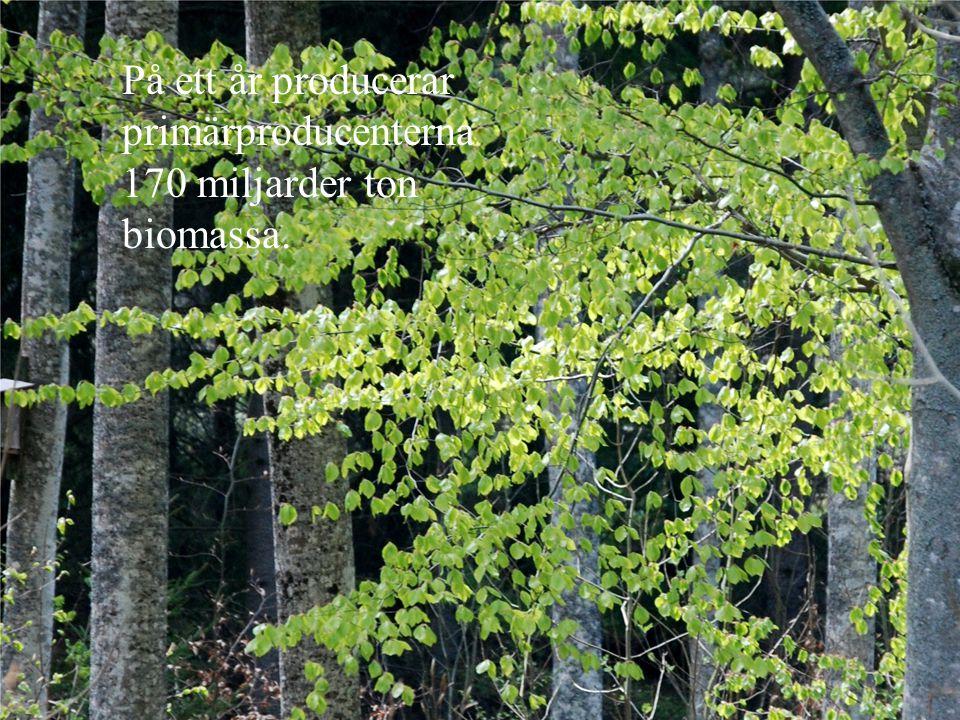 På ett år producerar primärproducenterna 170 miljarder ton biomassa.