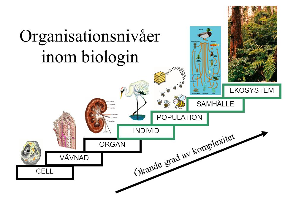 Organisationsnivåer inom biologin EKOSYSTEM POPULATION SAMHÄLLE CELL VÄVNAD ORGAN INDIVID Ökande grad av komplexitet