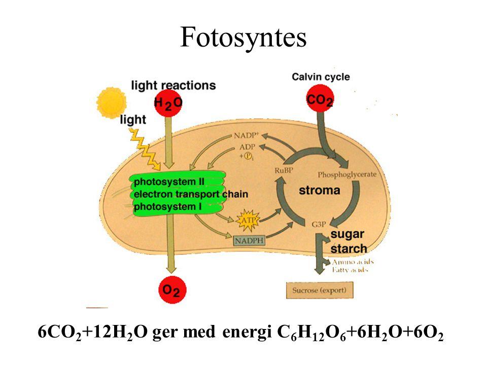 Fotosyntes 6CO 2 +12H 2 O ger med energi C 6 H 12 O 6 +6H 2 O+6O 2