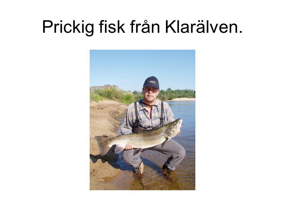 Prickig fisk från Klarälven.