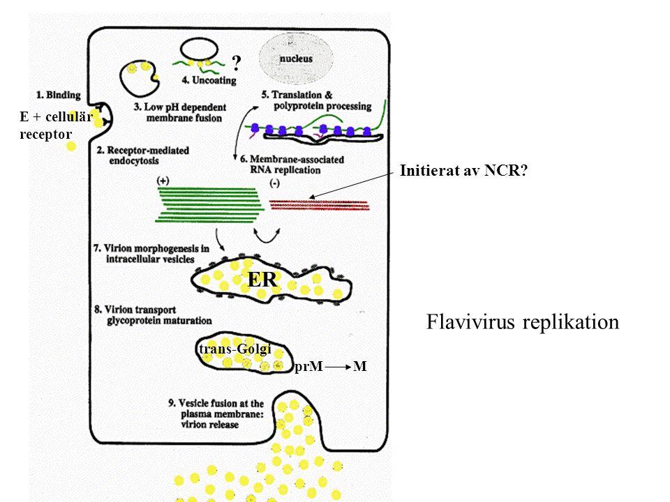E + cellulär receptor ? ER trans-Golgi prM M Initierat av NCR? Flavivirus replikation