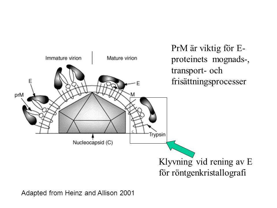 Adapted from Heinz and Allison 2001 PrM är viktig för E- proteinets mognads-, transport- och frisättningsprocesser Klyvning vid rening av E för röntgenkristallografi