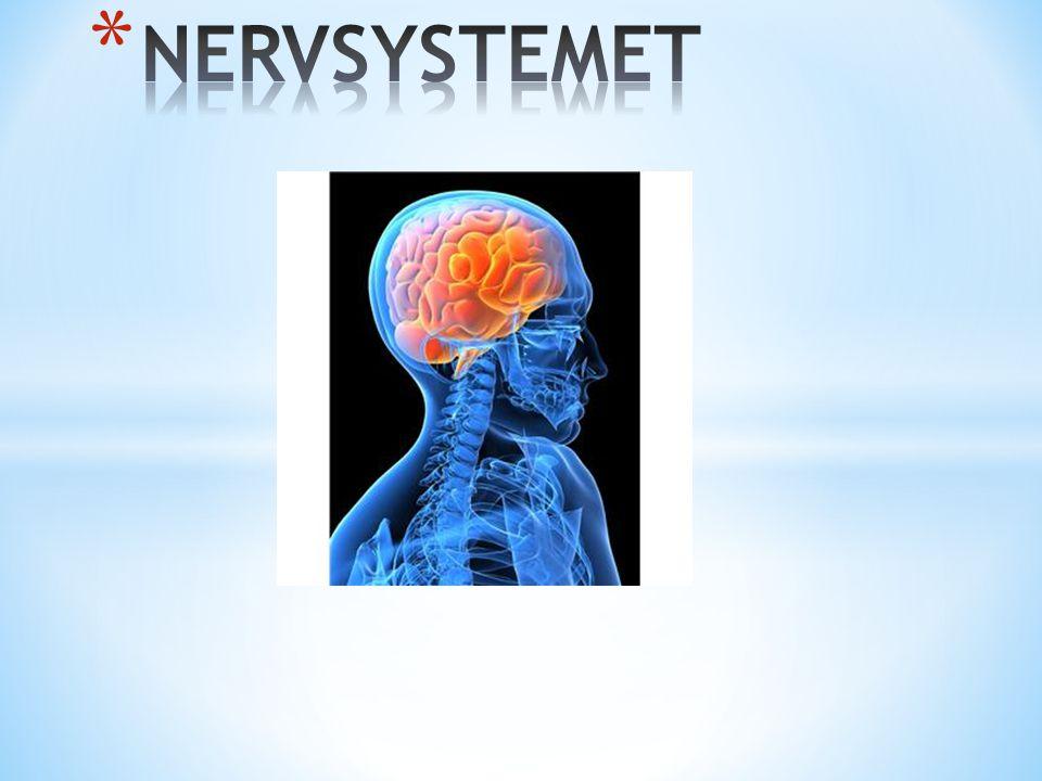 vvvv vv CellkroppLångt utskott(nervtråd) Korta utskott Cellkärna Fetthölje som isolerar Nerv = buntar av långa utskott