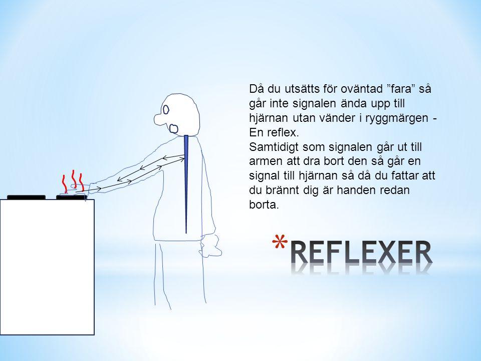 """Då du utsätts för oväntad """"fara"""" så går inte signalen ända upp till hjärnan utan vänder i ryggmärgen - En reflex. Samtidigt som signalen går ut till a"""
