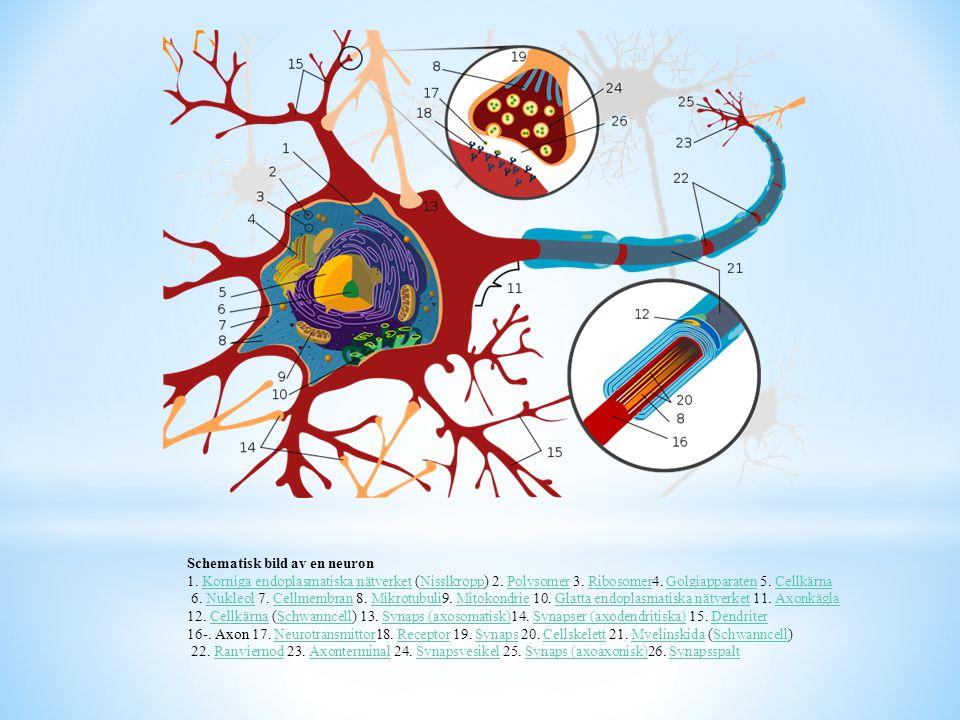 Kopplingen mellan 2 nervceller kallas synaps