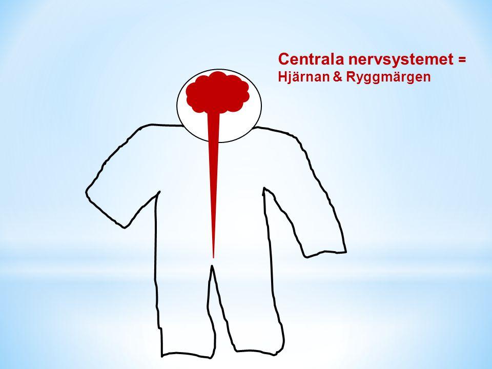 Perifera nervsystemet = Nerverna ute i kroppen Centrala nervsystemet = Hjärnan & Ryggmärgen